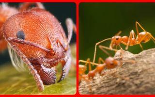 Надёжные средства избавления от красных муравьёв в доме