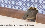 Методы борьбы с мышами в частном доме и квартире