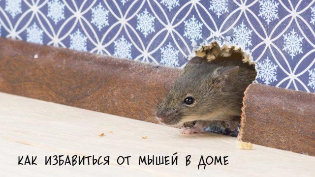 Мышь прогрызла дырку в плинтусе