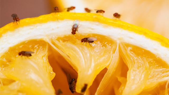 Мошки на апельсине