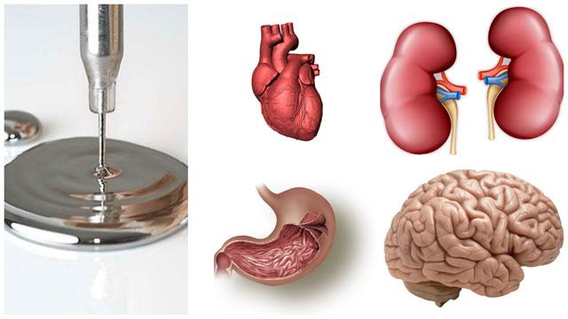 Сердце, почки, желудок, мозг